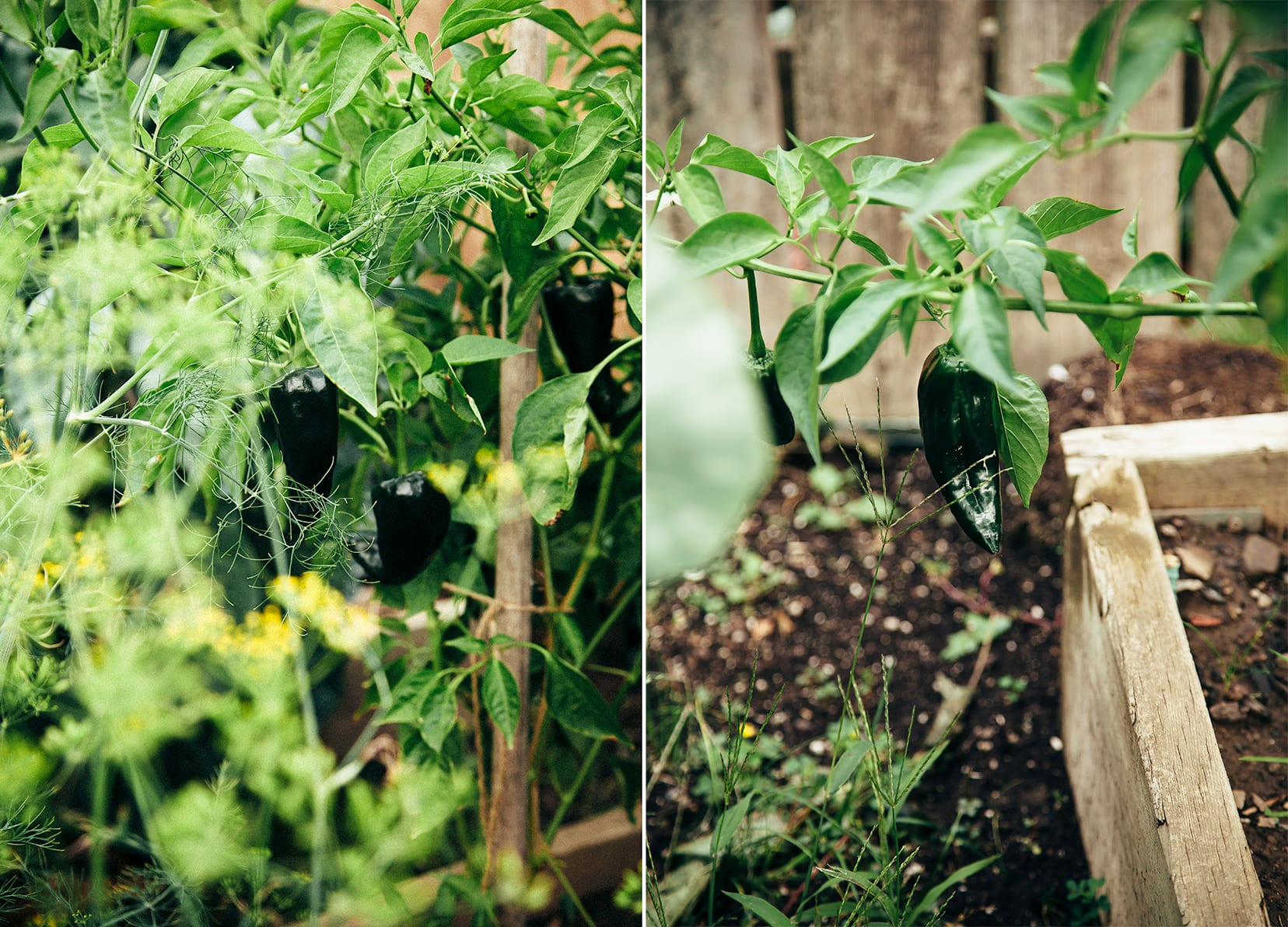 Two images show poblano pepper plants in a garden outside.