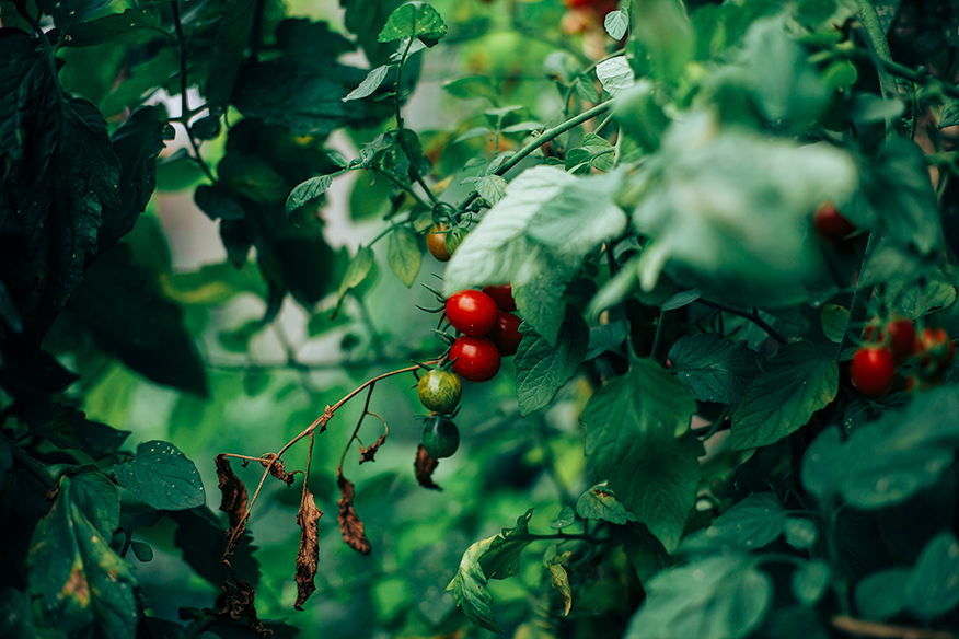 Cherry tomatoes on the vine.