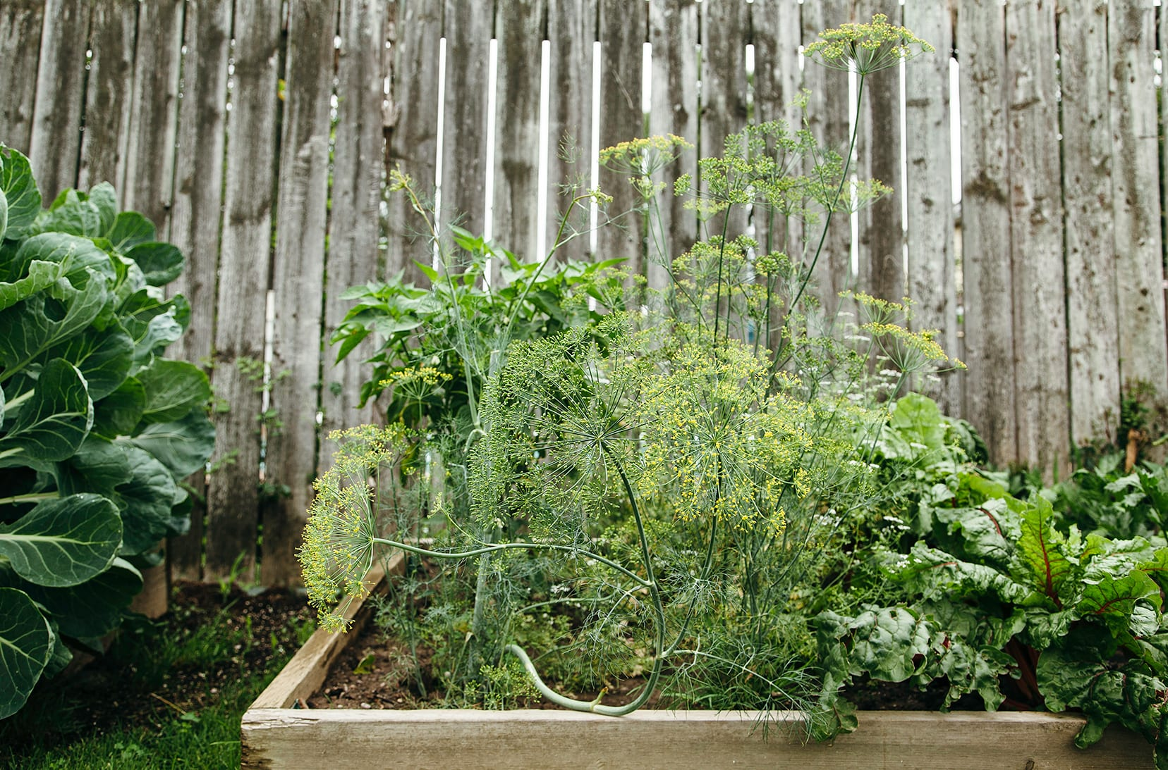 A head-on image of a vegetable garden with a wooden fence in the background.