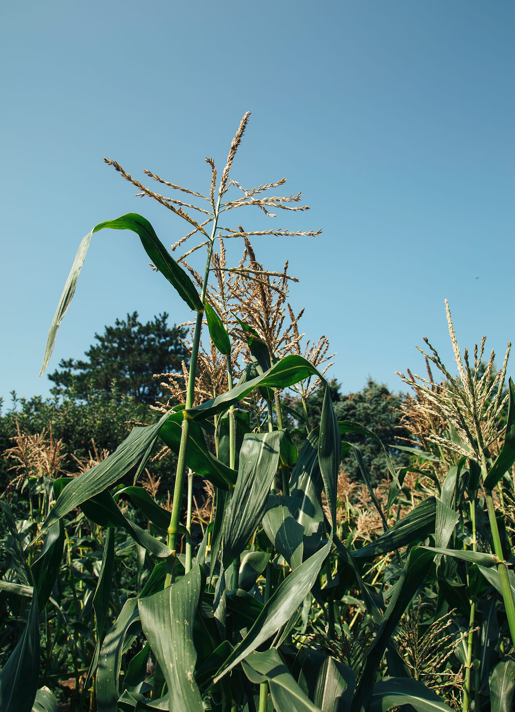 A shot of corn stalks outdoors in bright sunlight.