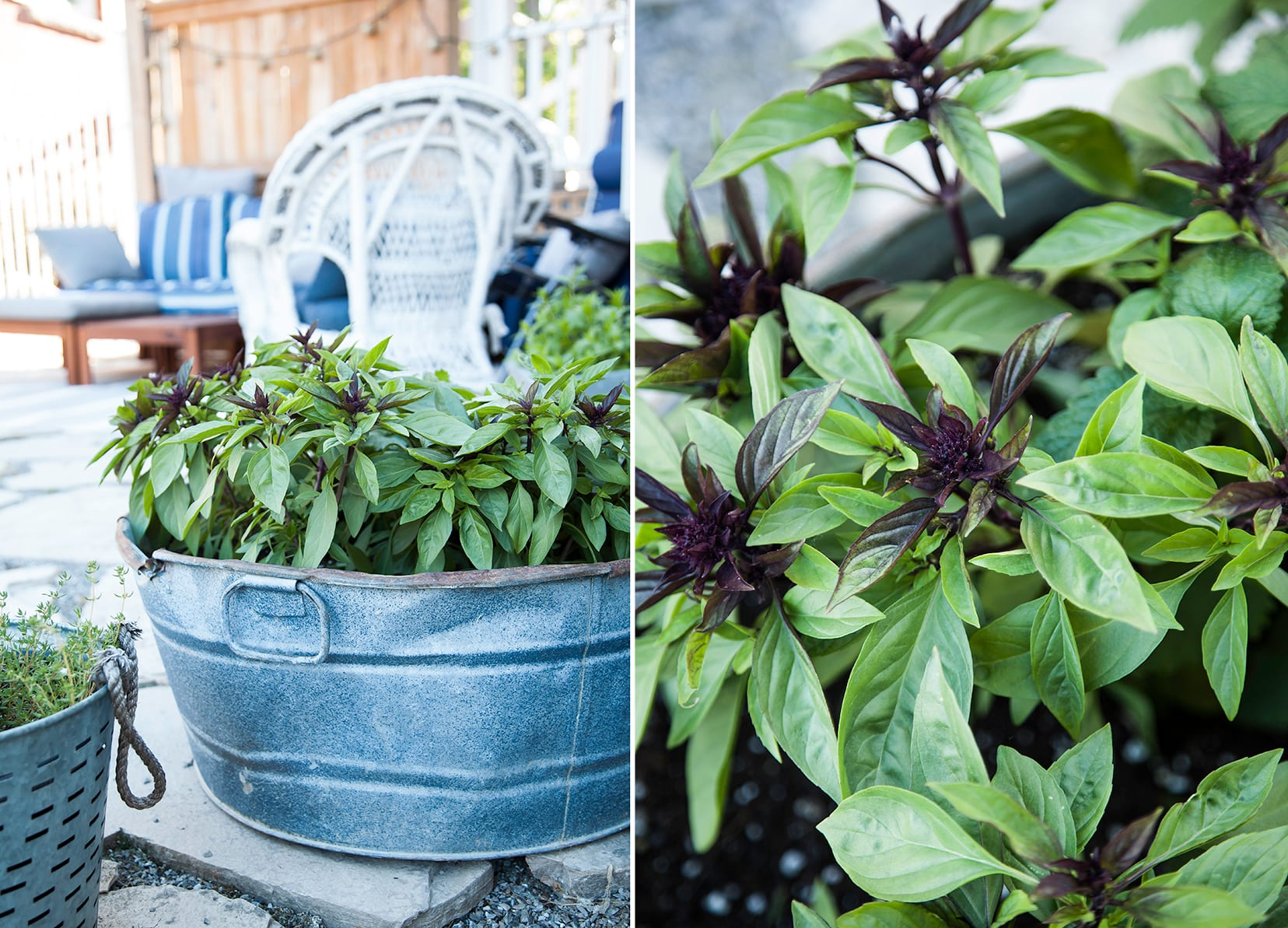 Two images show Thai basil growing in a galvanized metal container outside.