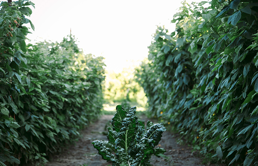 A shot of a row of chard growing in between two rows of raspberry bushes on a sunny day.