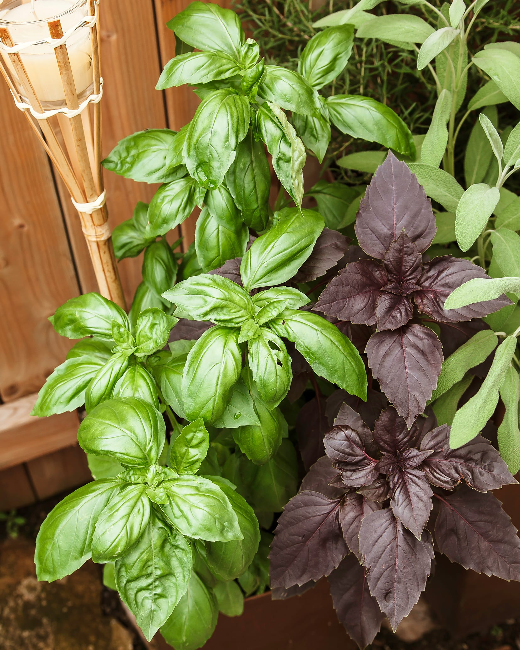 A 3/4 angle shot of two basil plants in a pot, photographed outside. One is a bright green basil and the other is a deep burgundy variety of basil.