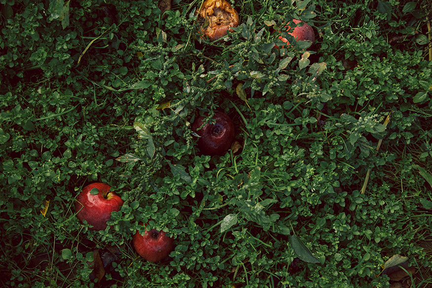 Apples fallen from a tree in deep grass and weeds.