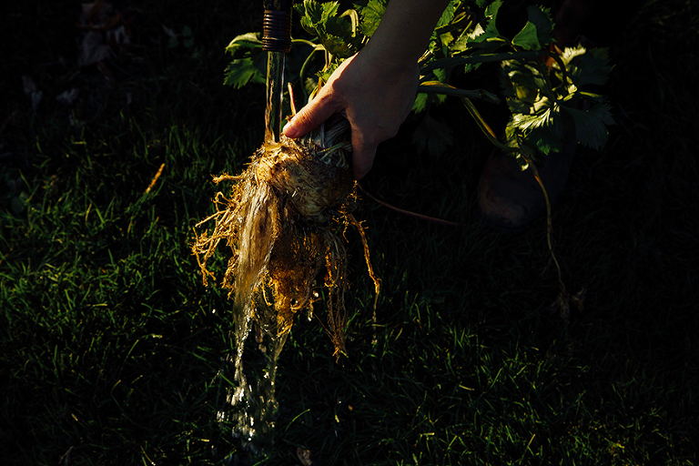 pulling up celery roots // @thefirstmess