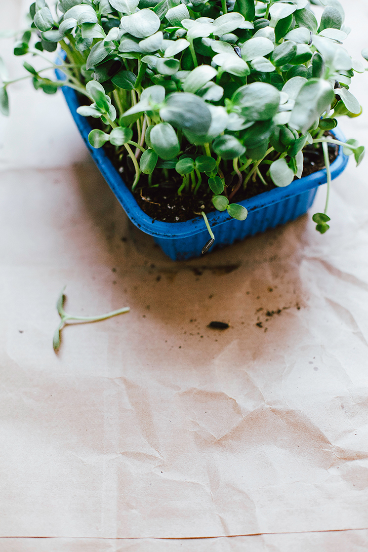 sunflower sprouts in dirt