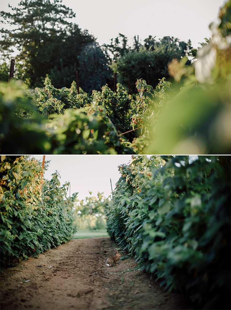 raspberry bushes and a bunny // via thefirstmess.com