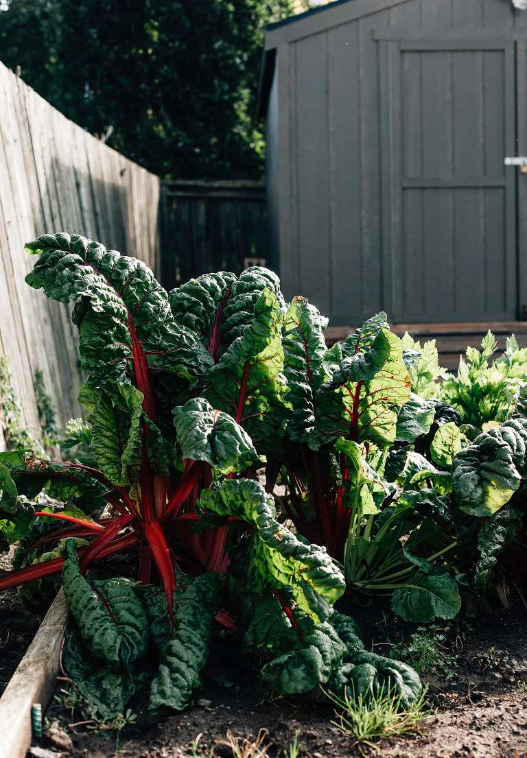 Garden chard - The First Mess