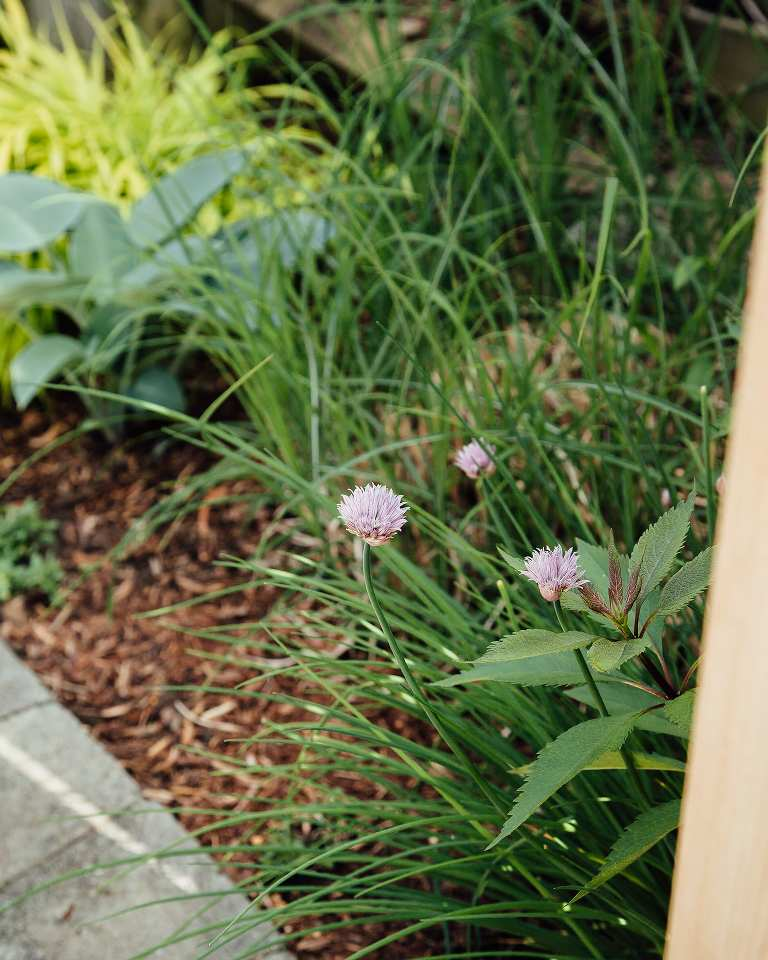Photo from a high angle of chives and chive blossoms growing in a rustic garden.