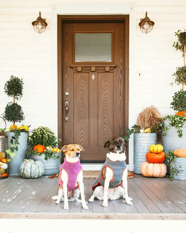 A lifestyle photo of my two dogs sitting on our front porch with a bunch of pumpkins and Fall mums.
